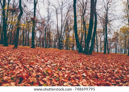 Autumn forrest. Yellow and red leafs on the ground. Brown and dark trees