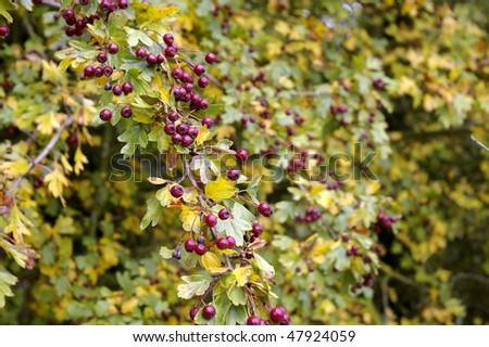 Autumn Fruits and Berries in the Hedgerow - stock photo