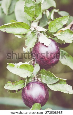 autumn gardens, ripe red apples on trees branches - stock photo