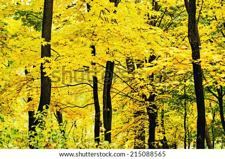 Autumn golden forest, natural fall vivid outdoor  background