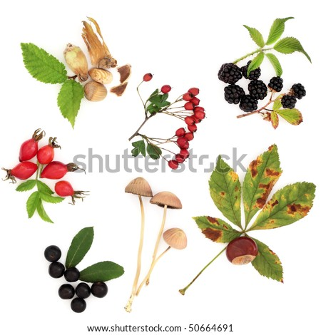 Autumn harvest collection of wild hedgerow produce of fruit, nuts and berries with leaves, isolated over white background.