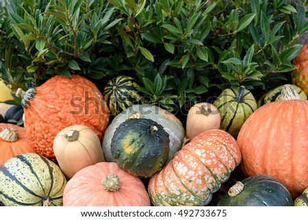 Autumn harvest colorful squashes and pumpkins in different varieties