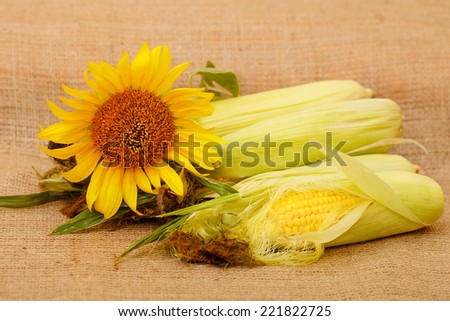 Autumn harvest of corn. Corn lying on the table, place for text or price. Corn on the cob in a rural locality of a harvest. The composition of the ripe ears of corn and flower yellow sunflower. - stock photo