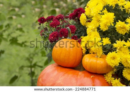 Autumn harvested pumpkins with burgundy and yellow mums flower. Fall  background - stock photo