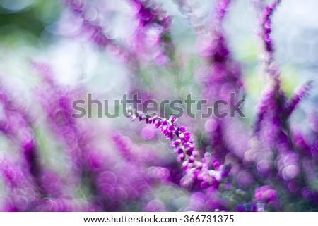 Autumn heather with bokeh - stock photo