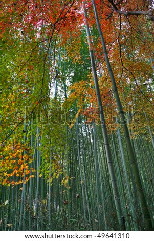 autumn in the famous bamboo forest,arashiyama,kyoto japan - stock photo