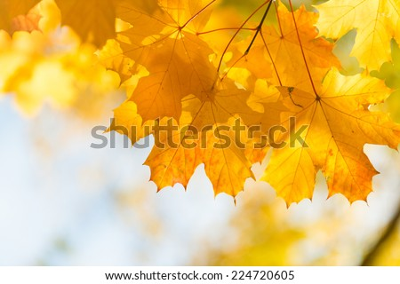 Autumn in the park: golden maple tree leaves in the sunlight