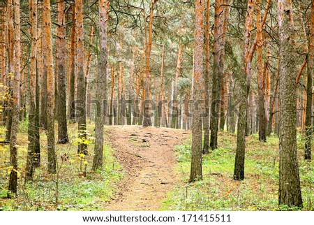 Autumn in the pine forest