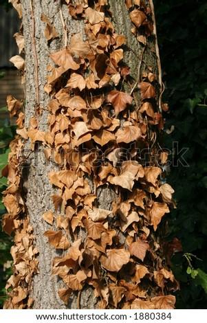 autumn ivy on a tree - stock photo