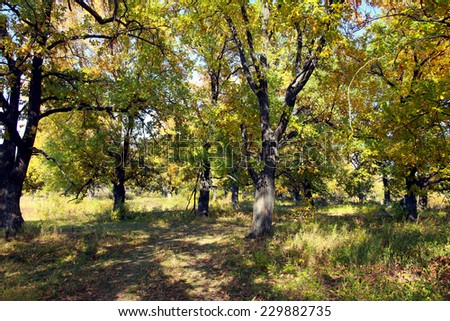 autumn landscape beautiful yellow leaves on the trees in the oak grove on a sunny day