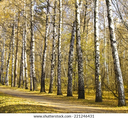 Autumn landscape - birch alley with yellow leaves. - stock photo