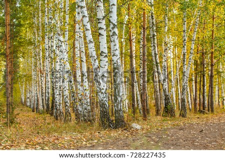 Autumn landscape of birch forest. Thin white bodies of birches with black stains.Very calm place on a wonderful autumn day. Tiny footapth along the trees. Special bokeh and focus photographic effect.