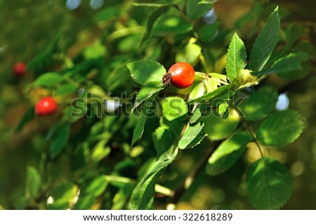 Autumn landscape -  red bright rosehip berry, shallow depth of field, focus at the central red berry - stock photo