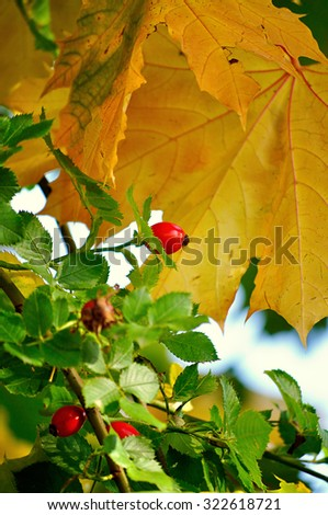 Autumn landscape -  ripe bright rosehip berries in the garden under yellowed leaves, shallow depth of field, focus at the central berry - stock photo