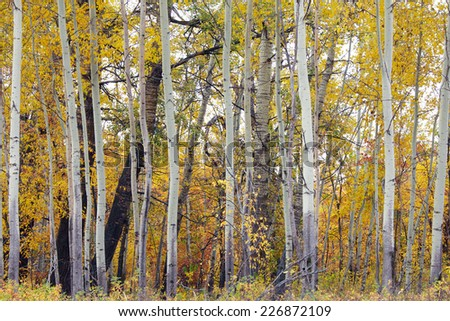 autumn landscape trees in the forest  yellowed leaves cloudy day