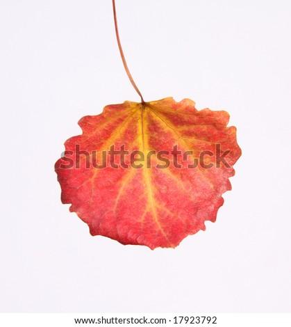 autumn leaf - stock photo