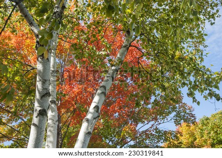 Autumn leaf colors on silver birch tree. - stock photo