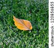 Autumn leaf covered with frost. Beginning of winter. - stock photo