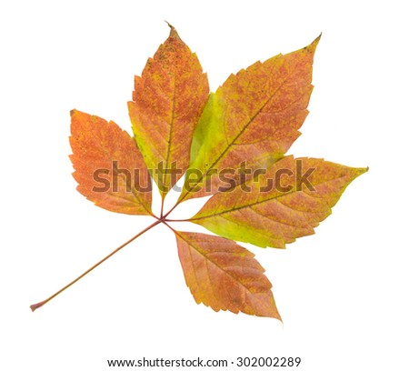 Autumn leaf isolated - stock photo