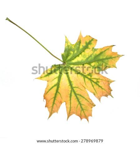autumn leaf isolated on white background - stock photo