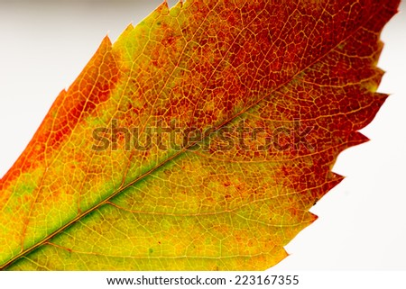 autumn leaf macro - stock photo