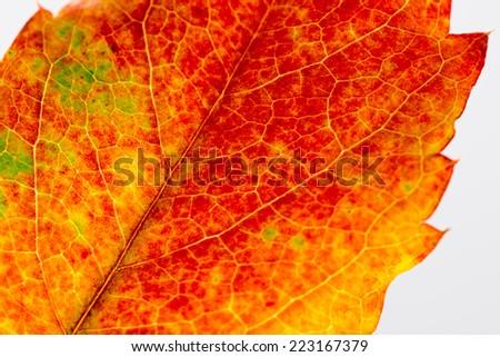 autumn leaf macro - stock photo
