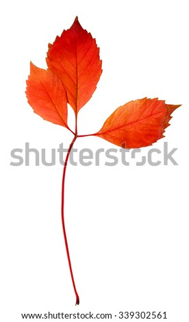 autumn leaf maple isolated on white background - stock photo