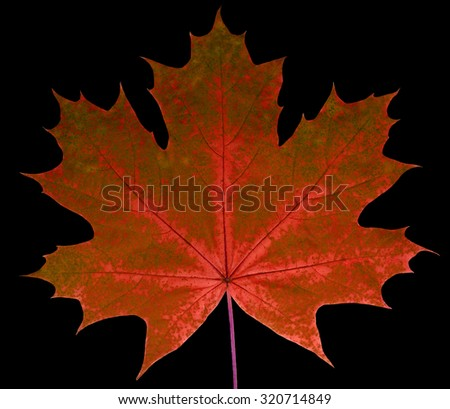 Autumn leaf  maple  on a black background isolated with clipping path.  Nature.  Closeup with no shadows. Macro. Indian summer. Red, green. For design of cards and web sites about nature. - stock photo