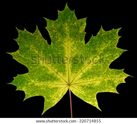 Autumn leaf  maple  on a black  background isolated with clipping path.  Nature.  Closeup with no shadows. Macro. Indian summer. Green, yellow. For design of cards and web sites about nature. - stock photo