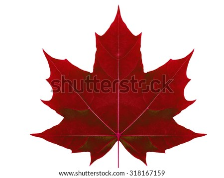 Autumn leaf  maple  on a white background isolated with clipping path.  Nature.  Closeup with no shadows. Macro. Indian summer. Red.  For design of cards and web sites about nature. - stock photo