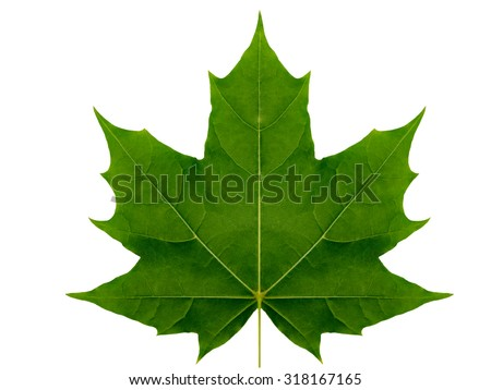 Autumn leaf  maple  on a white background isolated with clipping path.  Nature.  Closeup with no shadows. Macro. Indian summer. Green. For design of cards and web sites about nature. - stock photo