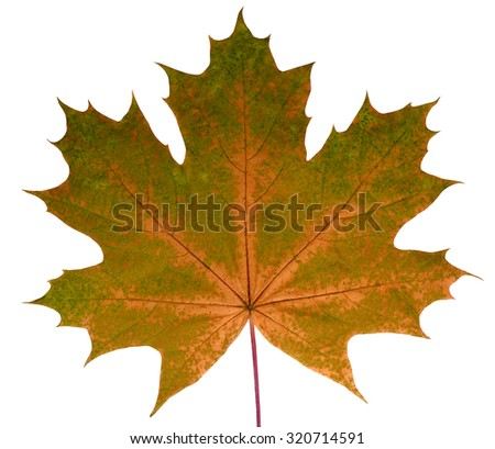 Autumn leaf  maple  on a white background isolated with clipping path.  Nature.  Closeup with no shadows. Macro. Indian summer. Orange, green. For design of cards and web sites about nature. - stock photo