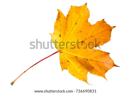 Autumn leaf of Maple isolated on white
