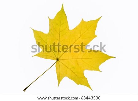 Autumn leaf of maple tree isolated on white background - stock photo