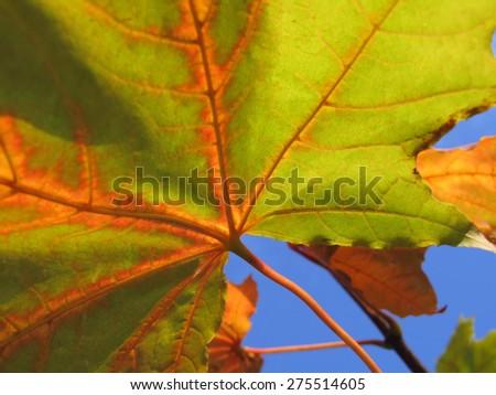 Autumn leaf of maple tree on blue sky background close up                            - stock photo