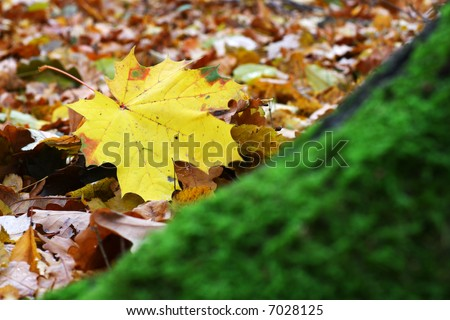Autumn leaf on a bed of dried up leaves in front of a trunk covered with moss.