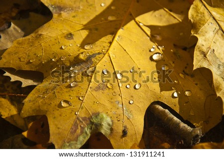 Autumn leaf on forest floor, covered in water droplets, macro