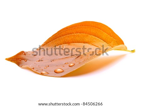 autumn leaf on white background - stock photo