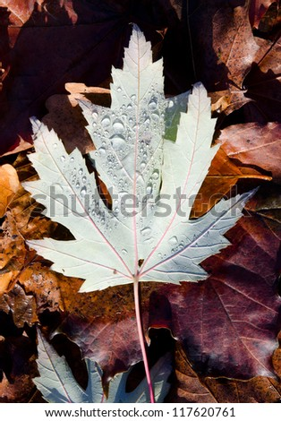 autumn leaf underside with raindrops, red leafs - stock photo