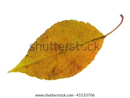 autumn leaf with dark stains isolated on a white