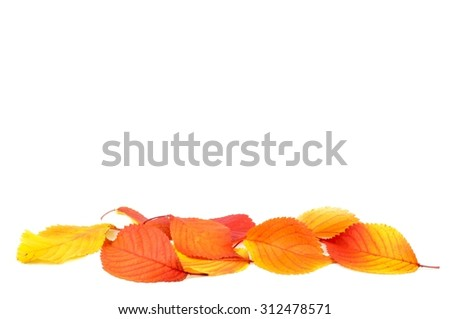 Autumn leaves.  Autumn leaves isolated on white background. Color Autumn leaves. Autumn leaves isolated. Autumn leaves background.  - stock photo