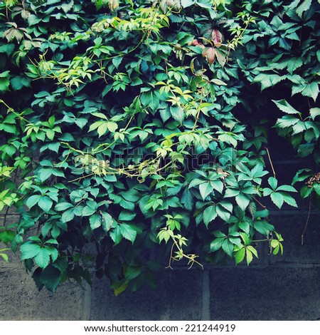 Autumn leaves background - vintage effect. Green climbing plant on the concrete wall - toned image. Parthenocissus floral background - retro photo. - stock photo