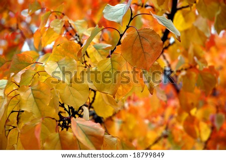 autumn leaves closeup
