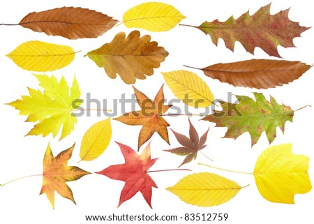 Autumn leaves collection maple, oak, chestnut tree isolated on white background