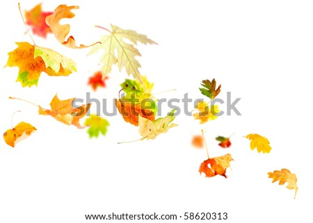 Autumn leaves falling and spinning isolated on white - stock photo