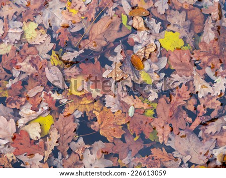 Autumn leaves floating on a surface of water