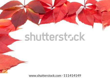 Autumn leaves frame on white. Virginia creeper leaves. - stock photo