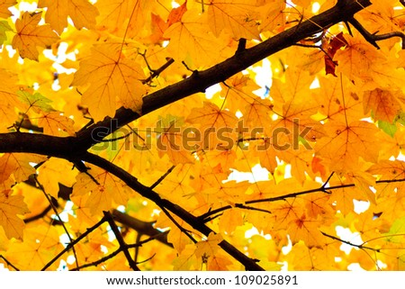 Autumn leaves in a tree, yellow foliage - stock photo