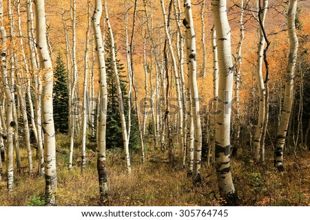 Autumn leaves in an aspen glade, Utah, USA. - stock photo
