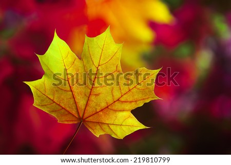 Autumn leaves in autumn colours - stock photo